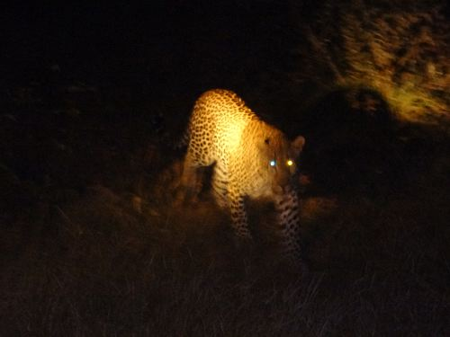 Leopard_at_night