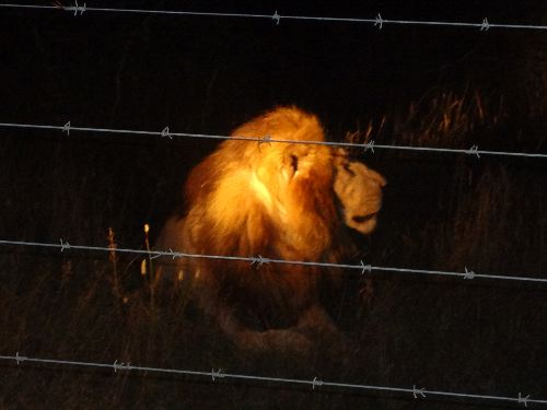 Lion_behind_fence
